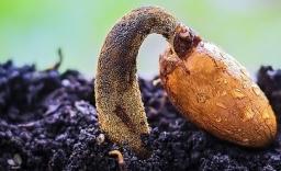 germinating seed
